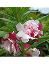 Balsam - Rose Double Mix