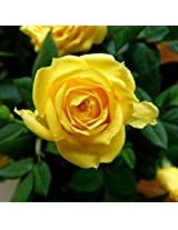 Plants Guru Rose Yellow