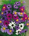 Brachycome Mix 0.5g flower seeds