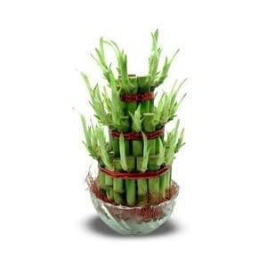 Good Luck Plant