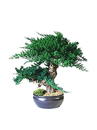 Forever Green Art Jin Bonsai Tree