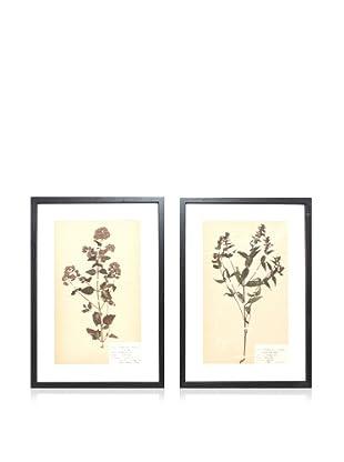 Herbarium Prints, C. 1930, Pair