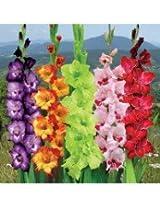 Indian Gladioli Flower Bulbs Pack 25 Bulbs Pack