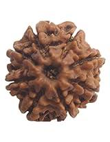 ShubhBhakti Aath Mukhi Rudraksha (Eight Faced Rudraksha),(2.54x 2.54 x 1.27, brown)