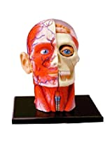 Tedco Human Anatomy - Human Head Model