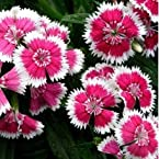 Dianthus (Sweet William, Carnation) - Baby Doll