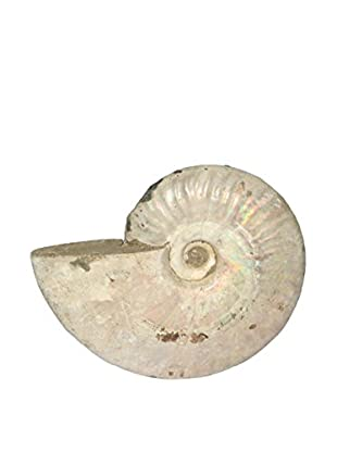 Uptown Down Found Fossilized Ammonite Shell From Madagascar