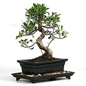 S shaped Ficus Decoration Piece Five Years Old