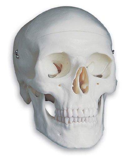3B社 頭蓋骨模型 頭蓋標準モデル (a20)