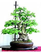 Hinterland Trading Ginkgo Tree Maidenhair Bonsai Ginkgo Biloba 5 Seeds