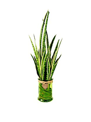 Creative Displays Snake Plant in Glass Container, Green