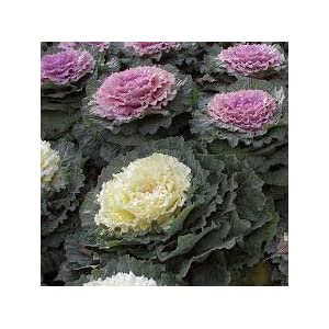 Imported Ornamental Kale Flower Seeds