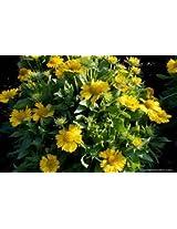 E-plant Gaillardia Yellow Seeds
