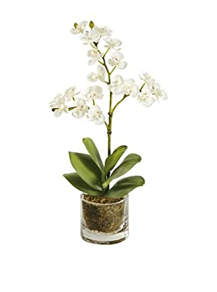 Winward Mini Phalaenopsis in Glass (White)