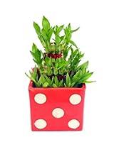 Nurturing Green Lucky Bamboo 3 layer Red Bonsai Dice Design Cube Ceramic Pot