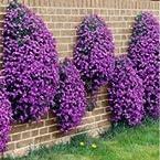Aubrieta (Rock Cress) - Large Flowered Hybrid