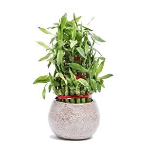 Nurturing Green Lucky Bamboo 3 Layers Big Indoor Plant