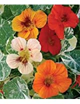 nastratum Alaska mixed Flower seeds