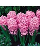 Hyacinth Pink Pearl Flower Bulbs (Pack of 6 Bulbs)
