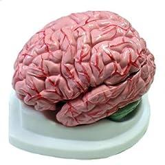 全米が震えた! 「脳」100個が盗まれた事件の真相は!?