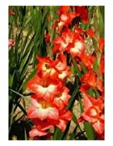 GladiolusFlower Bulbs Red - White Color (Pack of 12 Bulbs )
