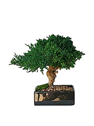 Forever Green Art Single Monterey Square Bonsai Tree