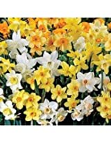 Daffodil Fragrance Flower Bulbs