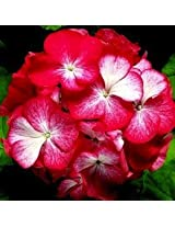 Pinto Bicolor Geranium Flower Seed 50 Stratified Seeds