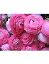 Ranunculus Flower Bulbs Pink Color (Pack of 6 Bulbs)