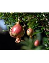 Pomegranate Dwarf Plant - Punica - Bonsai or Houseplant Quart container