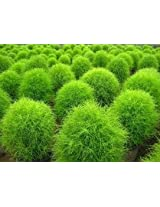 Kochia Burning Bush