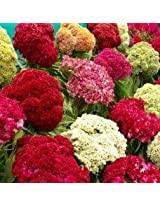Flora Fields Celosia (Coxcomb) - Tall Wool Mix