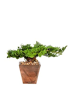 Forever Green Art Traditional Bonsai Tree