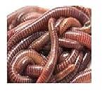 Fishing Worms (Earthworms)