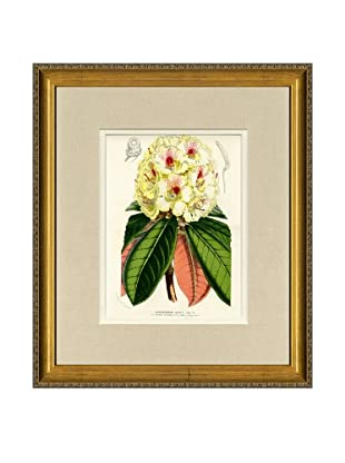 Vintage Print Gallery Antique Hand-Finished Rhododendron Print, Circa 1850's