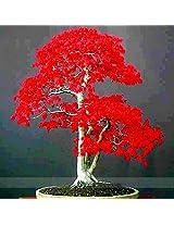 (Jrm D *Ambizu*) 100% True Japanese Red Maple Bonsai Tree Cheap 20 Seeds
