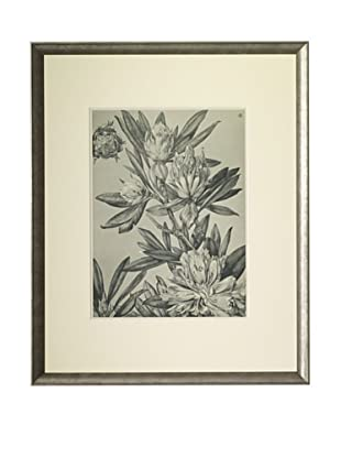 1903 Rhododendron Botanical Drawings