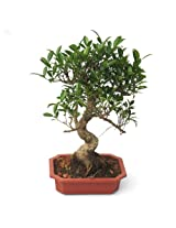 Indoor Plant Ficus Bonsai 6 Years