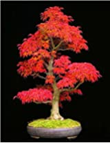 ADB Inc 50 PCS American Blood Red Maple Tree Seeds Bonsai Home & Garden
