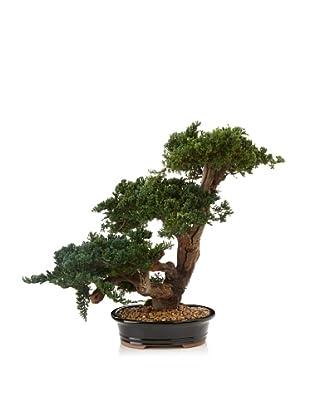 Forever Green Art Monterey Triple Bonsai