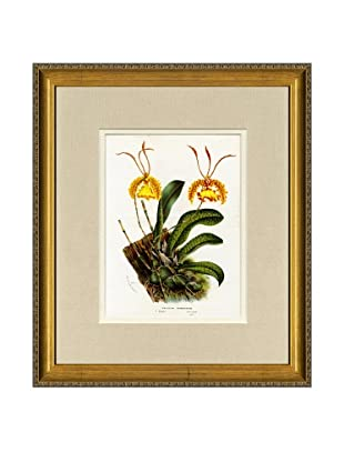 Vintage Print Gallery Antique Hand-Finished Oncidium Print, Circa 1850's
