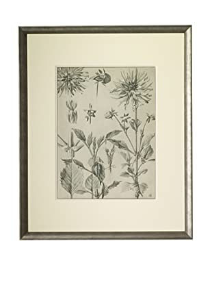 1903 Dahlia Botanical Drawings