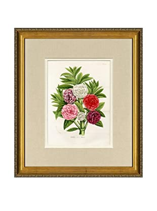 Vintage Print Gallery Antique Hand-Finished Balsamines Print, Circa 1850's