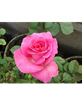 Indian Nursery Rose Plant Live 1 Plant -1 FT,Multicolor