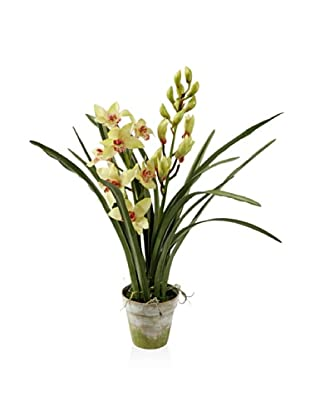 Winward Cymbidium in Clay Pot, Light Green