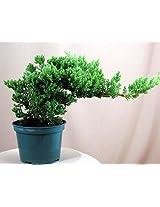 "Japanese Juniper Bonsai Starter Tree - 4"" pot - Juniperus procumbens 'Nana'"