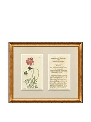 1813 Antique Hand Colored Pink Botanical with Description
