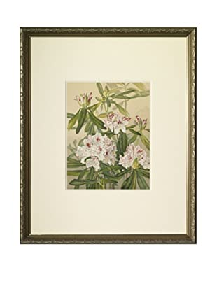 1903 Rhododendron Botanical Chromolithograph