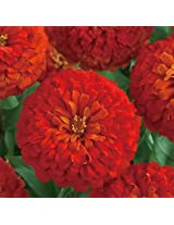 Zinnia Dreamland Scarlet Flower Seeds