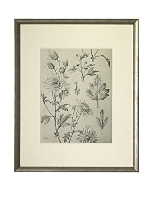 1903 Chrysanthemum Botanical Drawings